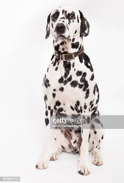 dalmatian dog in the studio - dalmatian dog stock photos and pictures