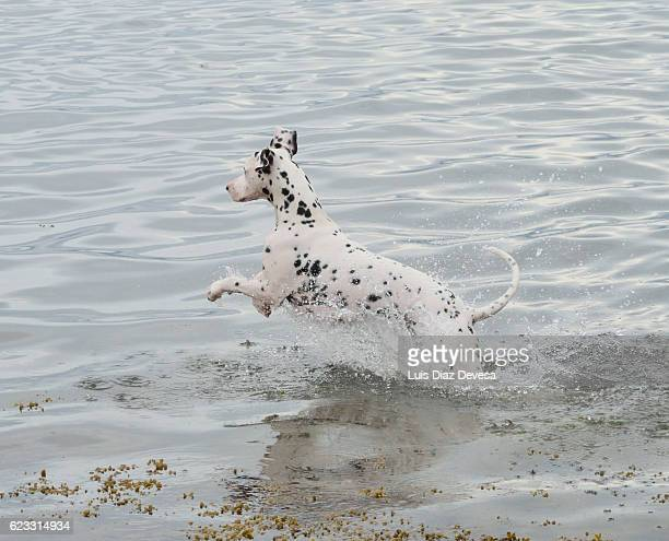 Dalmatian Dog jumping on sea