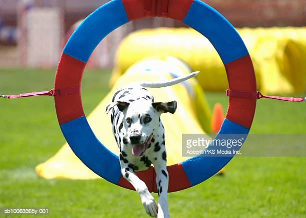 Dalmatian dog jumping through ring at agility competition