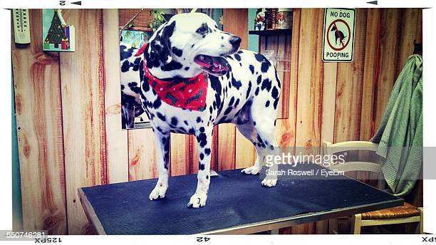 Dalmatian Dog On Table At Home