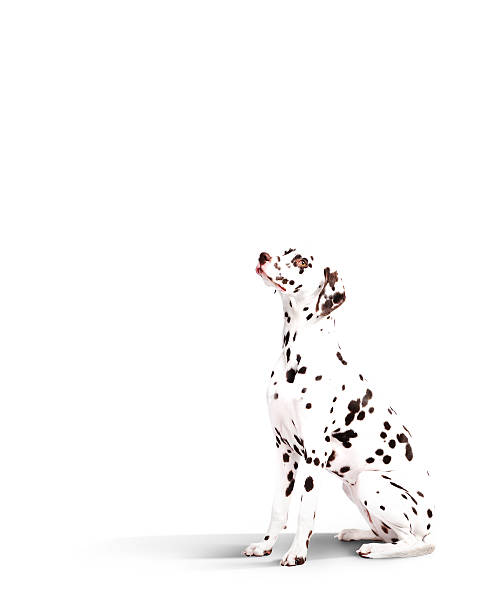 Dalmatian Dog Wall Art