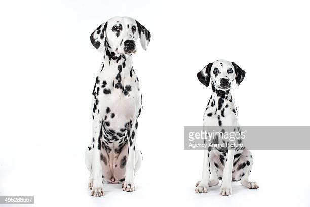dalmatian dog - dalmata imagens e fotografias de stock