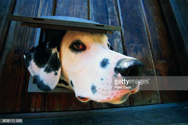 Dalmatian dog, poking head through cat flap, close-up (wide angle)