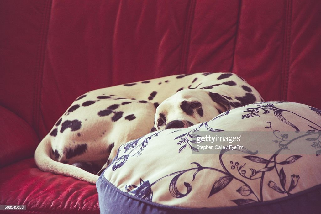 Dalmatian Dog Relaxing On Red Sofa : Stock Photo