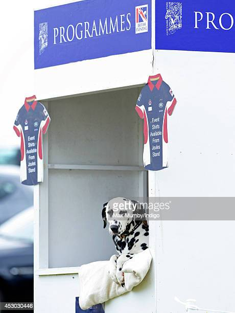 Dalmatian dog seen sitting in a stall selling programmes during day 1 of the Festival of British Eventing at Gatcombe Park on August 1, 2014 in...