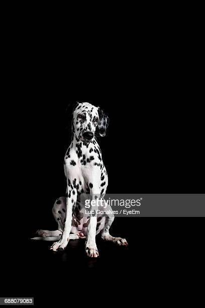 Dalmatian Dog Sitting Against Black Background