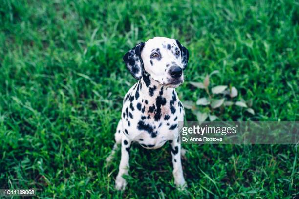 dalmatian dog sitting on grass looking up - dalmatian dog stock photos and pictures