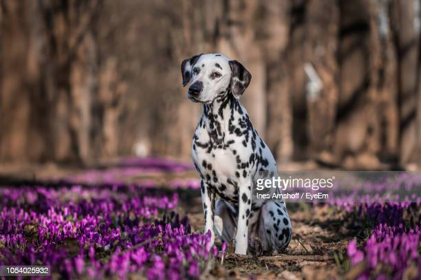 dalmatian dog sitting on purple flowers - dalmatian dog stock pictures, royalty-free photos & images