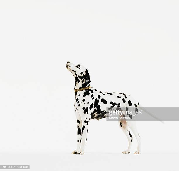 dalmatian dog with collar - dalmata imagens e fotografias de stock