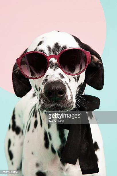 Dalmatian Dog with Sunglasses