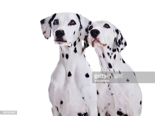 dalmatian dogs - two animals stock pictures, royalty-free photos & images