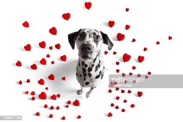 Dalmatian Hearts