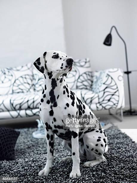 A dalmatian in a living room Sweden.