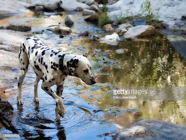 Dalmatian in Mountain Stream