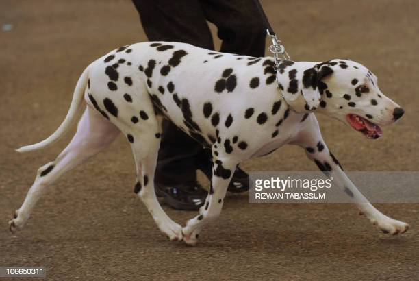 A dalmatian is walked by its owner during the AllBreed Championship Dog Show in Karachi on November 9 2010 The dog show was organised by The Kennel...