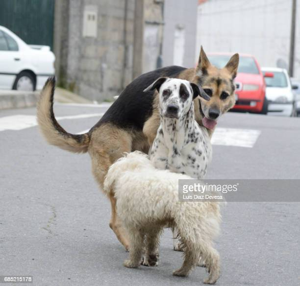 dalmatian mating with German shepherd