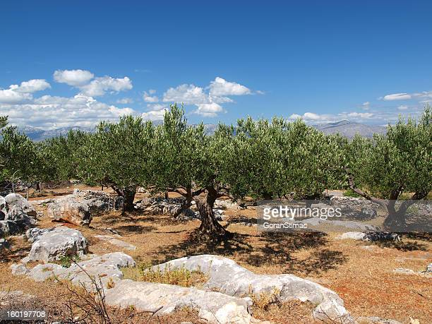 dalmatian olive grove - olive orchard stock photos and pictures