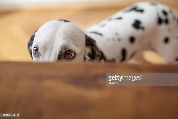 Dalmatian Spähen auf den Tisch