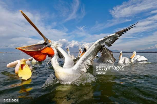 dalmatian pelican fishing (pelecanus crispus) - pelican stock pictures, royalty-free photos & images