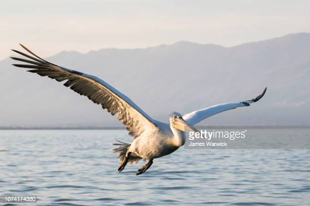 Dalmatian pelican in flight