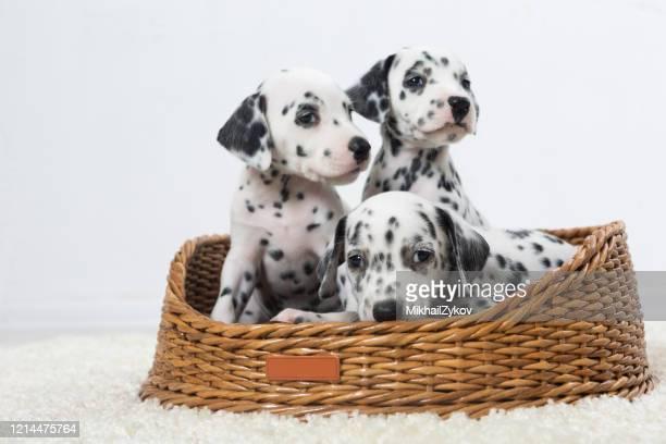 dalmatian - dalmatian dog stock pictures, royalty-free photos & images