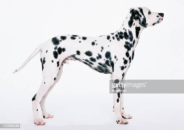 dalmatian - dalmata imagens e fotografias de stock