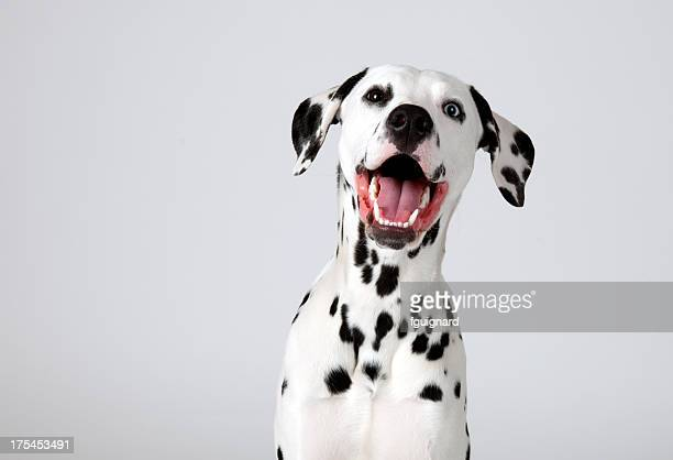 dalmatian - cute stock pictures, royalty-free photos & images