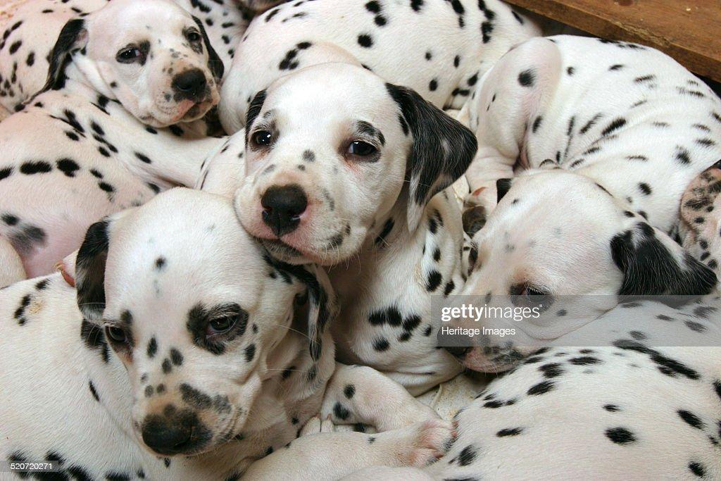 Dalmatian puppies. : ニュース写真