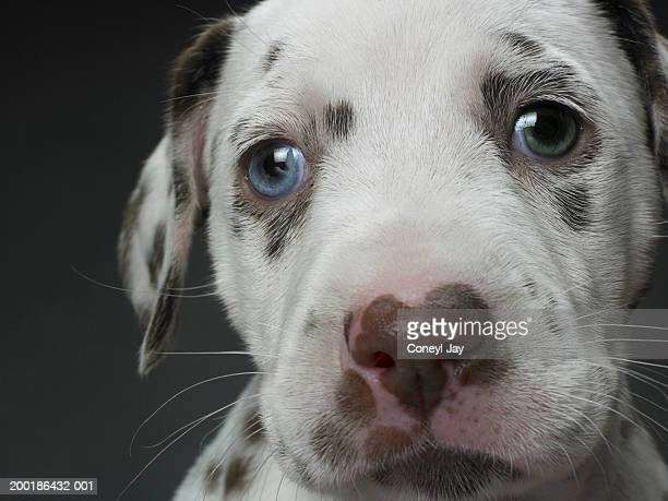 dalmatian puppy, close-up - whisker stock pictures, royalty-free photos & images