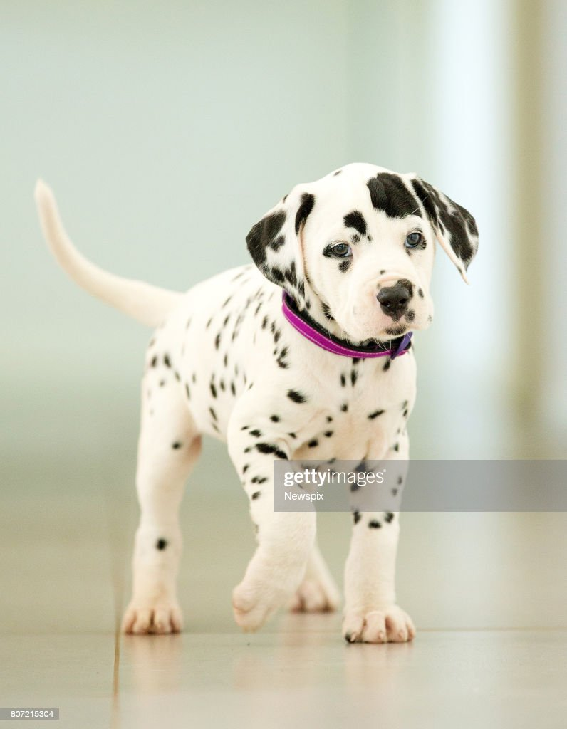 Dalmatian puppy 'Lexi Love Heart' owned by breeder Cecilia    News
