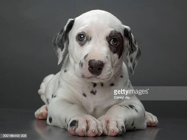 Dalmatian puppy lying down, head raised, close-up
