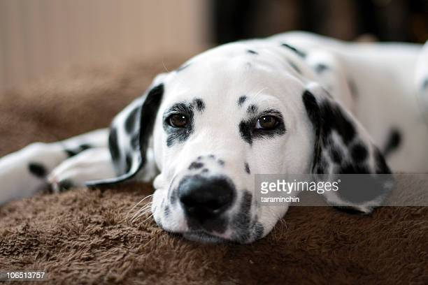 Dalmatian puppy lying down on brown carpet