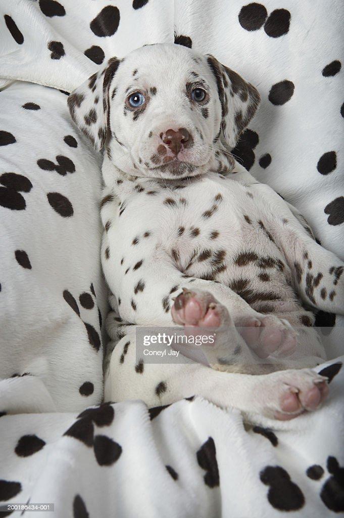 Dalmatian puppy on dalmatian-print blanket, close-up : Stock Photo
