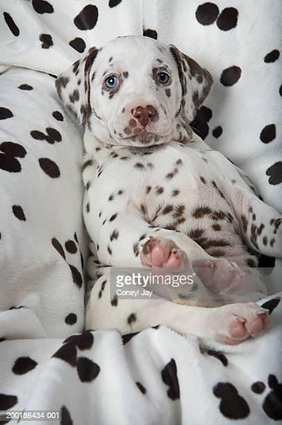 Dalmatian puppy on dalmatian-print blanket, close-up
