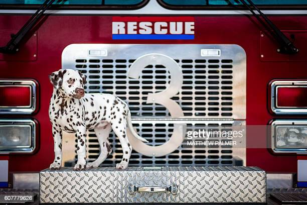 dalmatian puppy on fire truck - fire station - fotografias e filmes do acervo