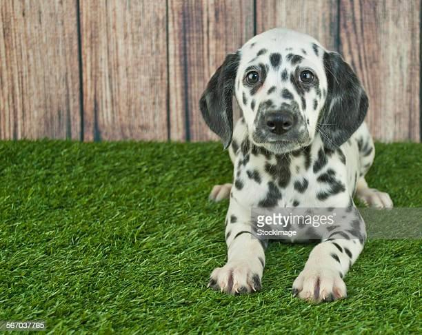 dalmatian puppy - dalmata imagens e fotografias de stock