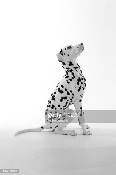 Dalmatian puppy sitting and looking up isolated on white