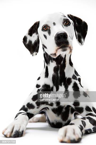 Dalmatian Sitting at Attention
