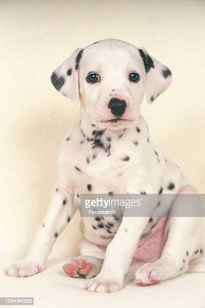 Dalmatian Sitting on a White Floor, Looking at Camera, Front View