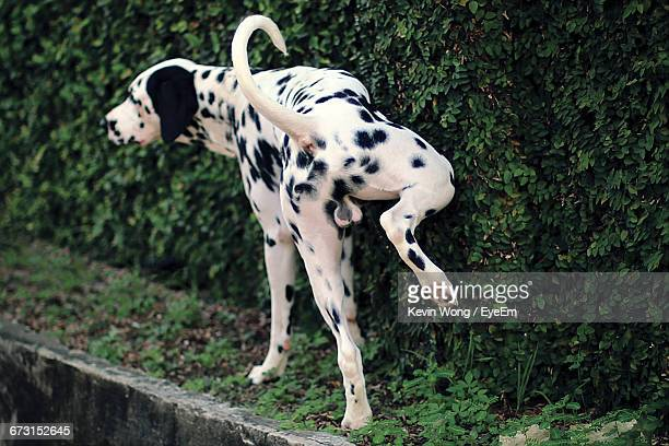 dalmatian urinating on plants - urinating stock pictures, royalty-free photos & images