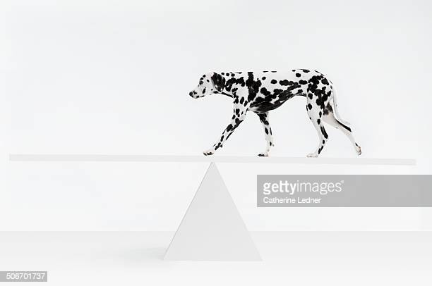 Dalmatian Walking Across See Saw