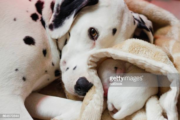 dalmatian dog stock photos and pictures getty images
