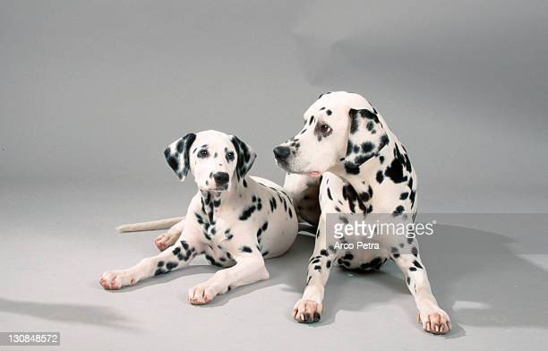 Dalmatian with puppy, 13 weeks