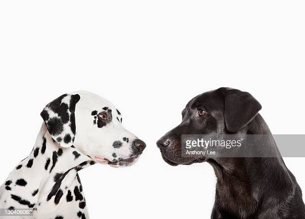 Dalmatians examining each other