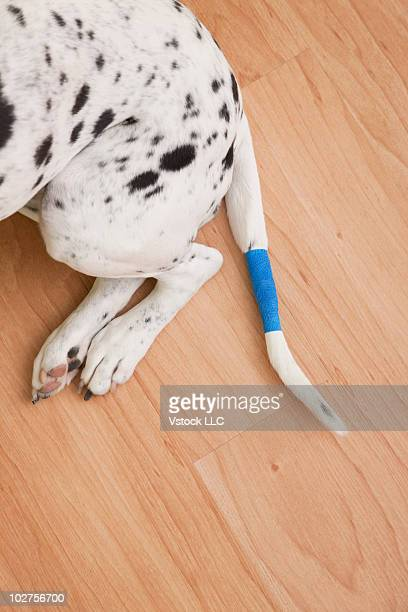 Dalmatian's tail wrapped in a bandage