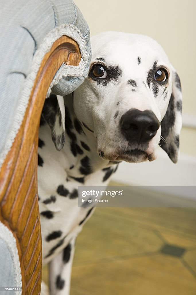 Dalmation by a chair : Stock Photo