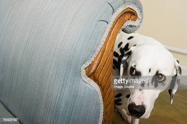 dalmation by a chair - fear stock pictures, royalty-free photos & images