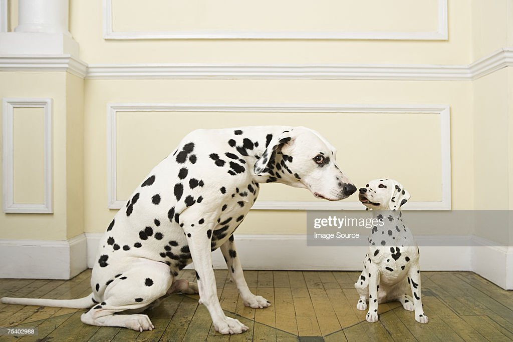 Dalmation with dog ornament : Stock Photo