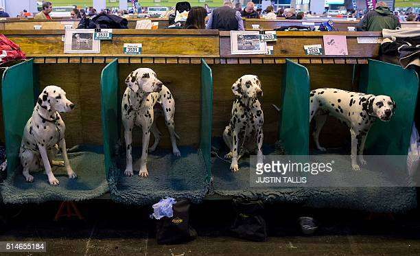 Dalmations sit in their stalls on the first day of the Crufts dog show at the National Exhibition Centre in Birmingham central England on March 10...