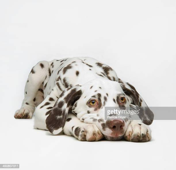 dalmaton pup - lying down stock pictures, royalty-free photos & images
